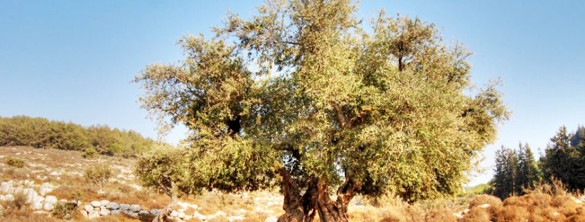 Pohon Ara Holyland Pic
